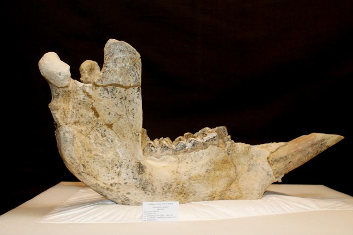Diprotodon optatum Mandible - Megafauna