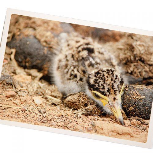 Individual Fauna Card
